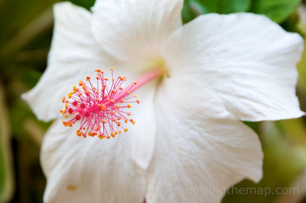 White hibiscus hawaiian flower photo