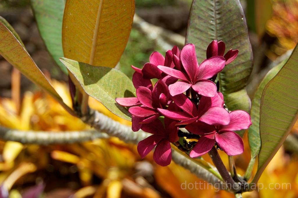 Plumeria hawaiian photo flower